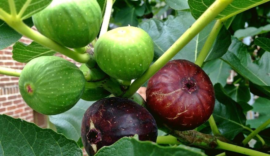 İncir çekirdeği yağının faydası ve kullanımı 14 – incir cekirdegi yaginin faydalari 1