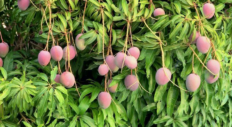Mango yetiştirme ve aşılama. Mangonun faydaları... 4 – mango 1