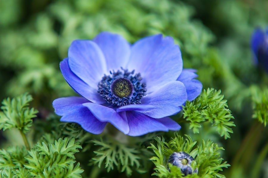 Anemon çiçeği
