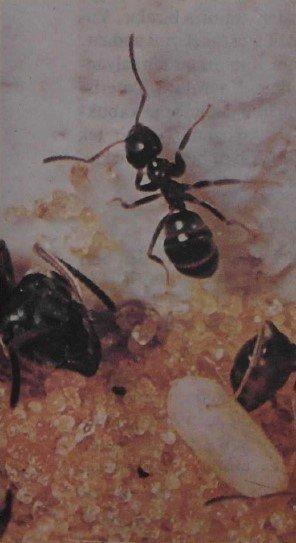 Karıncalar Nasıl Hayvanlardır, Nasıl Yaşarlar | Karıncalar Hakkında Her şey 3 – karinca2