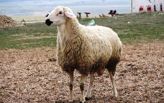 Türkiye'deki Koyun Irkları