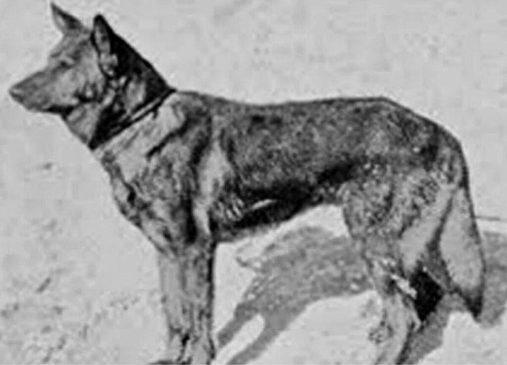 İlk Polis Köpeği Neydi? 1 – ilk polis köpeği