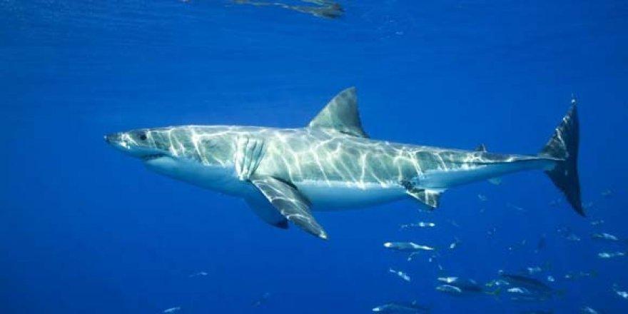 Köpek Balıkları Sudaki Elektriği Hissedebilir mi? 3 – kopekbalığı