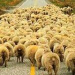 Türkiye'de Koyun Yetiştiriciliği