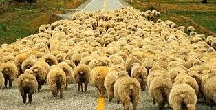 Türkiye'de Koyun Yetiştiriciliği 1 – koyun sürüsü