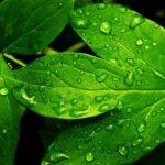 Bitkilerin Yaprakları Neden Yeşildir?