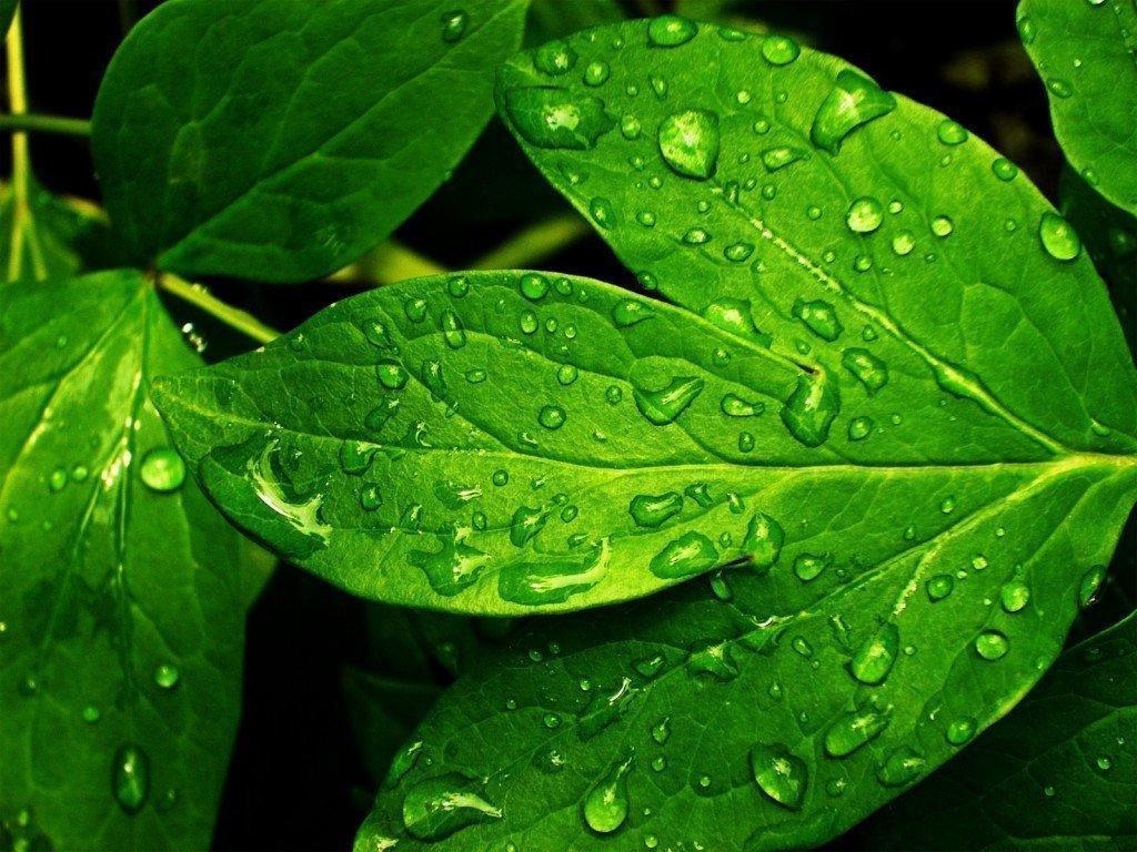 Bitkilerin Yaprakları Neden Yeşildir? 1 – yeşil yaprak