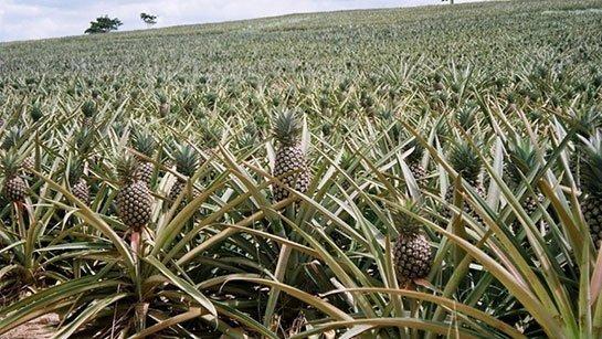 Ananas Yetiştiriciliği, Bakımı ve Toprak Hazırlığı 2 – ananas bitkisi
