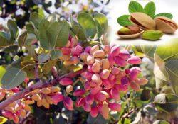 Antep Fıstığı Yetiştiriciliği Ekim, Bakım ve Toprak İsteği