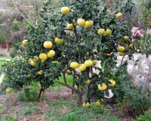 Ayva Yetiştiriciliği Bakım Sulama ve Toprak İşleri 1 – ayva ağacı