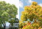 Kafur Ağacı ve Kafur Yağının Faydaları