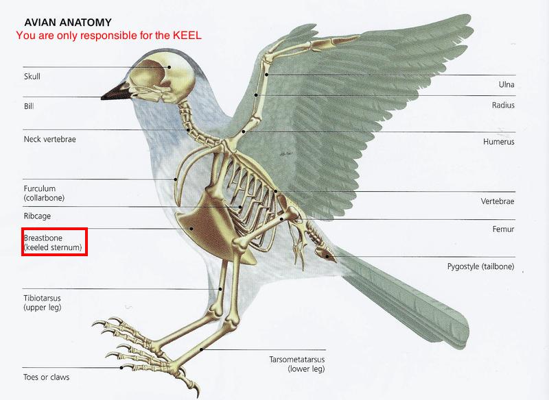 Kuşların Genel Özellikleri Nelerdir? Geniş Kapsamlı Bilgi 1 – kuş anatomisi