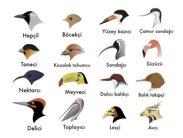 Kuşların Genel Özellikleri Nelerdir? Geniş Kapsamlı Bilgi 13 – kuş gaga türleri