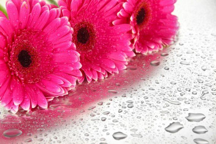 Gerbera Çiçeğinin Bakımı, Özellikleri ve Anlamı 1 – gerbera cicegi ozellikleri