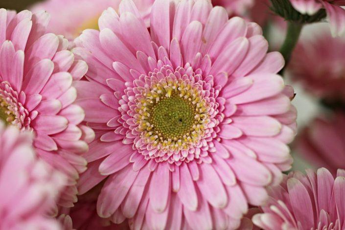 Gerbera Çiçeğinin Bakımı, Özellikleri ve Anlamı 2 – gerbera ciceginin anlami