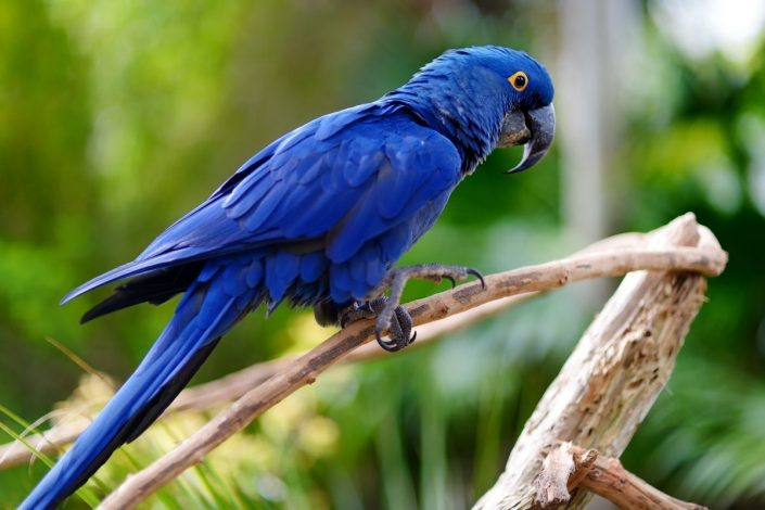 Nesli Tükenen Kuşlar 3 – mavi makaw