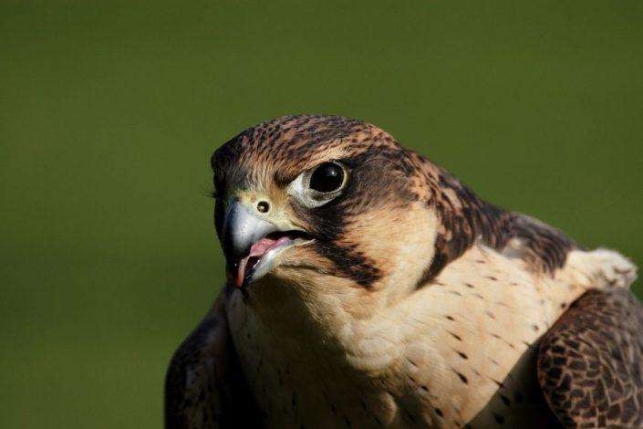 Dünyanın en hızlı kuşu hangisidir? 1 – gokdogan kusu ozellikleri